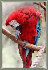 Grünflügelara / Ara chloropterus (Martin Volpert) Tags: mavo43 papageien aras vogelparkuckersdorf dunkelroterara psittaciformes psittacidae arini grünflügelara