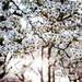 Spring Flowering [86/366]