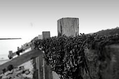 Shellacking (http://richard-m.myportfolio.com/) Tags: sea summer blackandwhite bw seaweed beach water wales prime fuji dof f2 shallow pembrokeshire 18mm goodwick xe1 fujix