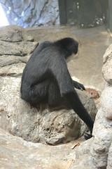 White Cheeked Gibbon back (kaysha54) Tags: chicago primate lincolnparkzoo whitecheekedgibbon
