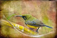Olive-backed Sunbird (ulli_p) Tags: green bird art texture nature colors thailand asia southeastasia colours textured sunbird isan olivebackedsunbird aworkofart flickraward texturedphoto ruralthailand awardtree artofimages exoticimage canoneoskissx5