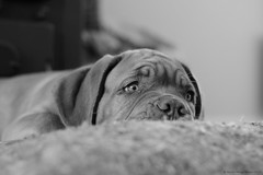 Mmm,  mommy is back ... (Martin Werge Nissen) Tags: bw fall dof indoor maximus canon50mm18 doguedebordeaux
