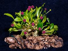 platystele umbellata (Eerika Schulz) Tags: platystele umbellata orchidee orchideen orchid orchids eerika schulz