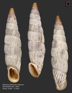albinaria (albinaria) cretensis3 grece 17mm2