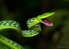 Green Vine Snake (Amit Rai Chowdhury) Tags: snake wildlife wayanad venomous vinesnake greenvinesnake canon7d canon100mmf28lis
