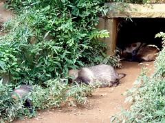 #4197 let sleeping racoon dogs () lie (Nemo's great uncle) Tags: zoo  hino   racoondog   tamazoo tky  tamazoologicalpark nyctereutesprocyonoides  nyctereutes procyonoides