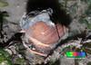 Spiral babylon (Babylonia spirata) (wildsingapore) Tags: nature island marine singapore underwater wildlife shore intertidal changi seashore mollusca gastropoda marinelife wildsingapore babylonia carpark1 spirata babyloniidae