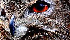 """Night Owl"" (Peter.S.Roberts) Tags: detail macro bird eye art nature closeup reflections interestingness interesting nocturnal artistic outdoor pov song menacing wildlife awesome creative beak feathers surreal owl eurasian owls birdsofprey hunters eurasianeagleowl bubobubo eagleowl naturewildlife gerryrafferty europeaneagleowl nightowl peterroberts eyereflection owlphotography nocturnalbirds nocturnalhunters nikond7000 interestingonflickr nocturnalhuntingbirds theowlstrust"