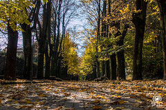 Viale alberato (andrea.prave) Tags: autumn italy color colour fall folhas leaves yellow foglie jaune automne hojas italia colore laub herbst amarillo gelb giallo otoño 秋 autunno farbe cor borgo medievale piacenza couleur feuilles осень viale 色 葉 castellarquato цвет 颜色 黄 أصفر اللون alberato