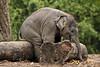 Aziatische olifant SUNAY (K.Verhulst) Tags: elephant rotterdam blijdorp elephants nl blijdorpzoo olifanten diergaardeblijdorp sunay rotterdamzoo asiaticelephants aziatischeolifanten