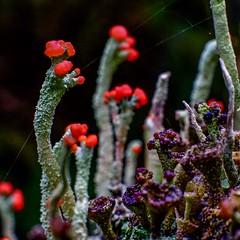 British Soldier Lichen (johnny.ramsay) Tags: macro lichen cladonia britishsoldiers