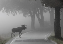 Moose on the loose (shemring) Tags: moose elk fogg