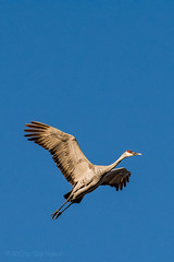 Sandhill crane. Oct. 18, 2015. Hebron, Illinois, USA