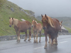 Col du Pourtalet, France -  Espaa (jlfaurie) Tags: horse mountain montagne caballo cheval lluvia pluie montaa soir col froid niebla brouillard tarde pyrnes chevaux pirineos mechas pourtalet 092015 jlfaurie jlfr mpmdf