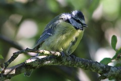 Scruffy Blue Tit in the Apple Tree (milnefaefife) Tags: sunlight tree bird nature leaves garden scotland tit wildlife branches ayr bluetit scruffy appletree ayrshire doonfoot