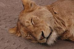 Tanzania_22 (johanneshartzheim) Tags: park lake tanzania wildlife hans lodge ngorongoro national lobo serengeti arusha karama natron ndutu hartzheim