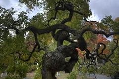 CN4A9402_3_4_5_6_7_8 - Mt Auburn Cemetery (Syed HJ) Tags: autumn trees cambridge tree fall cemetery canon ma foliage 5d cambridgema 70200mm mountauburncemetery mtauburncemetery canonef70200mmf28l canon70200mm canonef70200mm mtauburncemeterycambridgema canoneos5dmarkiii canonef70200mmf28lisii canonef70200mmf28lisiiusm canon5diii mountauburncemeterycambridgema 5diii canoneos5diii