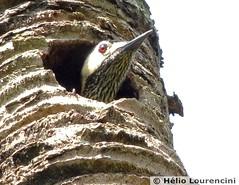 Pica-pau-verde-barrado [Green-barred Woodpecker] (Helio Lourencini) Tags: greenbarredwoodpecker colaptesmelanochloros picapauverdebarrado