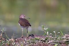 Green sandpiper (sayem.ahmed49) Tags: nature birds canon wildlife 7d bangladesh tamaron 150600