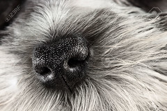 Dog Nose (Shalom Monterrubio) Tags: dog pet pets white detail macro cute dogs beautiful up animal animals closeup hair puppy fur mammal nose one miniature puppies soft close view skin little sweet sleep small adorable canine schnauzer nopeople mini indoors domestic bow smell attractive perros ribbon spotted studioshot doggy sniff cachorros noses lovely breed fullframe sniffing nasal scent snout sense scented smelling particolor whitefur sensory particolored purebreddog scenting animalsandpets fotografasdeperros
