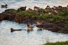 Teal (aljones27) Tags: bird birds duck teal ducks cambridgeshire teals fowlmere