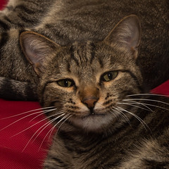 Grinning Tabby (Daniel P Barker) Tags: smile cat feline cheshire tabby grin grinning