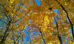 Magnificent Maple Trees in DFW