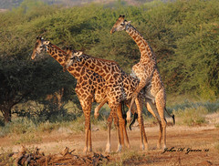 JHG_6428-b Another Masai Giraffe expressing his dominance of a rival male, Tsavo West, Kenya. (GavinKenya) Tags: africa wild nature animal june john mammal photography gavin photographer kenya african wildlife july grand safari dk naturephotography kenyasafari africansafari 2015 safaris africanwildlife africasafari johngavin wildlifephotography kenyaafrica kenyawildlife dkgrandsafaris africa2015 safari2015 johnhgavin