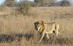 I'm the King (Fil.ippo) Tags: southafrica king wildlife lion safari savannah leone filippo krugernationalpark skukuza sudafrica sigma70300 d7000 filippobianchi