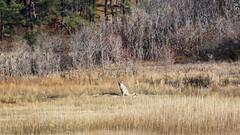 eastern coyote (quadceratops) Tags: coyote nature bay wildlife cape mass cod eastern sanctuary massachusets wellfleet audubon massaudubon