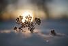 Frosty plant (Helena Normark) Tags: frozenplant beautifullight winter snow goldenlight lundåsen trondheim sørtrøndelag norway norge sonyalpha7ii a7ii voigtländer cv5015 nokton5015 nokton50mmf15