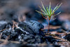 One man's pain is another man's gain (Normann Photography) Tags: denenesdød fire onemanspainisanothermansgain ashes burned closeup coal denannensbrød dof forest forestfloor green macro newlife saying wisewords østfold norway no