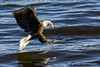 The final approach (Thomas DeHoff) Tags: bald eagle lock dam 14 mississippi river sony a580 70400
