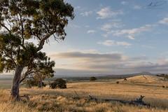20161211_Gungaderra Grasslands Nature Reserve_0W0A0379 (andybrooks29) Tags: palmerston australiancapitalterritory australia au