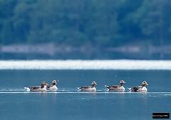 Greylag Goose (Anser anser anser) (Dave 2x) Tags: anseranseranser anseranser anser greylaggoose greylaggeese graylag graylaggoose graylaggeese leastconcern keswick derwent derwentwater lakedistrict cumbria england uk lake