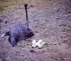 La vida continua.  Orlando - Florida (Joan Cadavid) Tags: ostrich avestruz estadosunidos unitedstates florida orlando animales animals nuevos eggs vida life