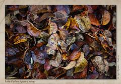 Late-Fallen Apple Leaves (setsuyostar) Tags: deadleaves appletree winter2016 december2016 canoneos5dii topaz kenhawley