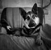 Hannibal (Shooting Ben) Tags: coffee caffenol caffenolc dog canine pet workingdog farm sitting mediumformat film 6x6 squareformat c330 mamiya mamiyac330