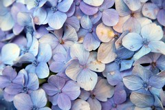 Hortênsia (Amanda Neves*) Tags: hortensia hydrangea macrophylla flores rs