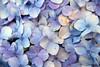 Hortênsia (Amanda Neves*) Tags: hortensia hydrangea macrophylla flores rs