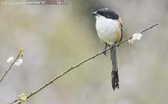 long-tailed shrike (lanius schach) (punkbirdr) Tags: kusmin nikon d500 500mmedafsif4 tc14eii14x thailand punkbirdrphoto longtailedshrike laniusschach
