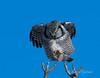 Chouette épervière - Northern Hawk Owl (MichelGuérin) Tags: 2017 canada chouetteépervière exterior extérieur hiver janvier lightroomcc michelguérin nature nikon nikonafsnikkor200500mmf56eedvr nikond500 northernhawkowl oiseaux qc québec saintaugustindedesmaures surniaulula animal bird ca