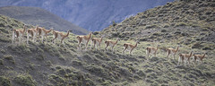 Chile (richard.mcmanus.) Tags: chile southamerica torresdelpaine guanaco mcmanus mammal wildlife gettyimages