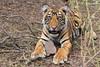 Tiger Cub_RNP_2162_fb (nitinsdesai) Tags: tiger india cub wildlife jungle animal forest ranthambhore mammal
