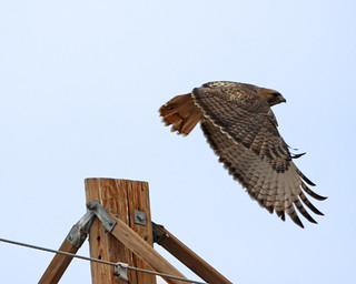 Red Tailed Hawk 5036