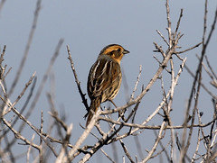Nelson's Sparrow, Ammodramus nelsoni (bruce_aird) Tags: