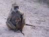 IMGP8045b (Micano2008) Tags: kenia africa amboseli parquenacional pentax mamifero babuinoamarillo papiocynocephalus