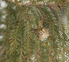 Goldcrest (uusija) Tags: regulusregulus bird goldcrest hippiäinen linnut luonto nature