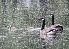 H501_0697 (bandashing) Tags: geese water canal gosling gander goose fowl waterfowl gaggle swim family sylhet manchester england bangladesh bandashing aoa socialdocumentary spring akhtarowaisahmed
