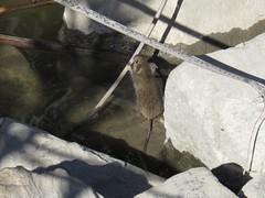 is this a western harvest mouse-san joaquin marsh (2) (gskipperii) Tags: mice rat rodent unusual mammal winter rain wet sanjoaquin marsh wildlifesanctuary wildlife animal outdoors outdoor reeds orangecounty irvine southerncalifornia